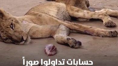 صورة ملك الغابة يتضور جوعاً في السودان